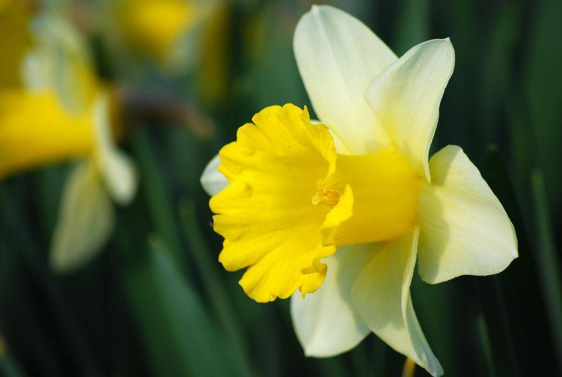 Daffodil Bugler