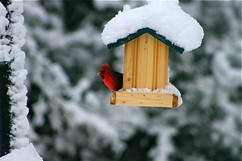 Cardinal in Snow Covered Bird Feeder (c) John Stenerson