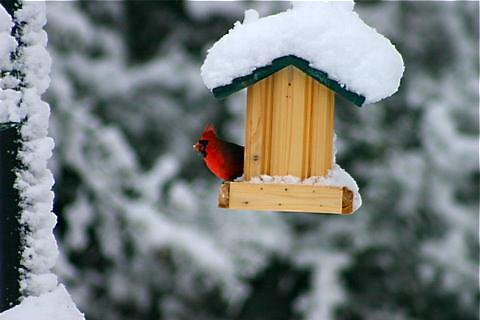 Cardinal in Snow Covered Bird Feeder (c) John Stenerson