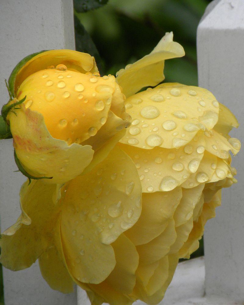 Yellow Roses in the Rain on Martha's Vineyard (c) Claudia Ward
