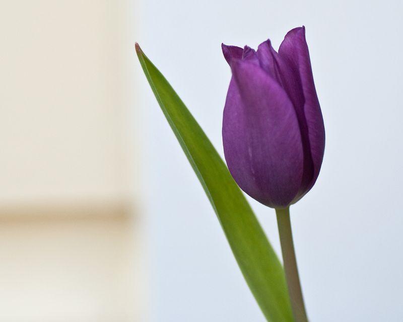 """Bye the Beach"" Tulip"