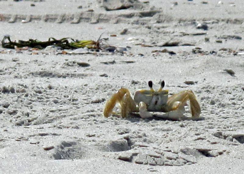 North Caroline Crab © Tom Winsch