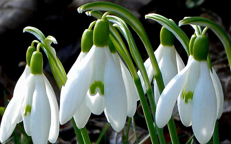 Snow Drops before Easter (c) Peter Tooker
