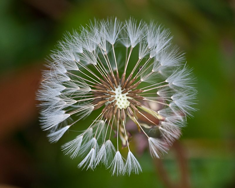 Dandelion Pod ©2009 Claudia Ward All Rights Reserved