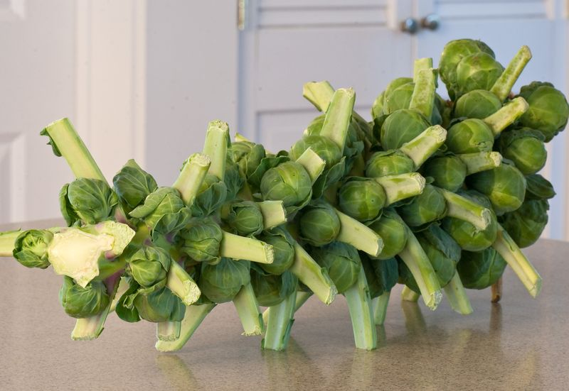 Stalk of Brussels Sprouts Looking like a Centipede © 2010 Claudia Ward