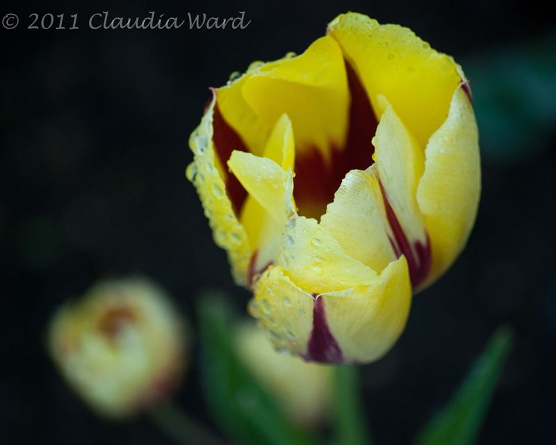 Tulips_After_Rain_