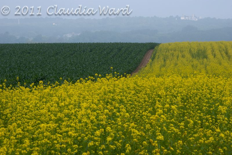 Mustard and Corn Fields in the Hamptons