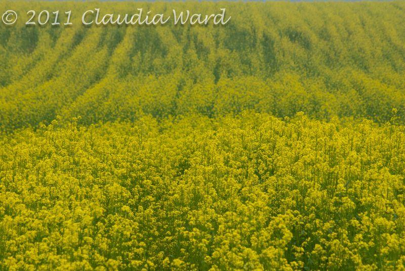 Farm Filed of Mustard Flowers