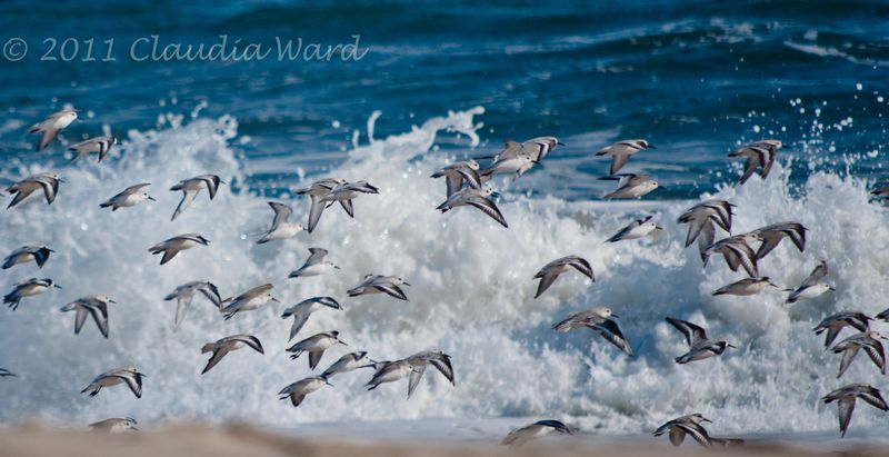 Shore_Birds_at_the_Beach ©2011 Claudia Ward