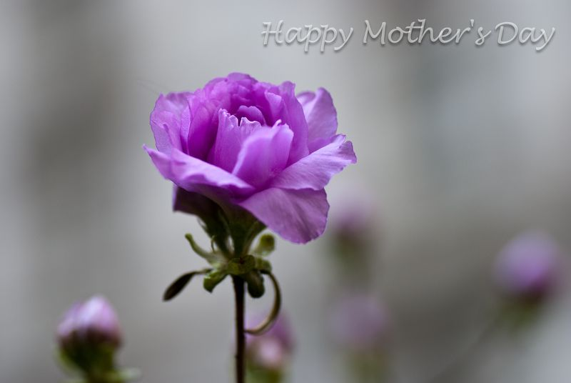 Mother's Day Flower ©2011 Claudia Ward