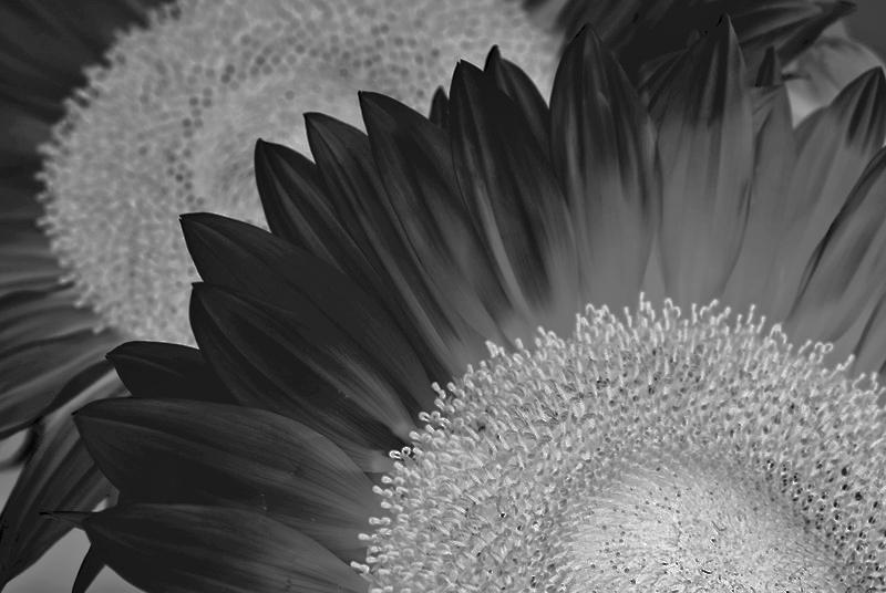Sunflowers Negative B&W