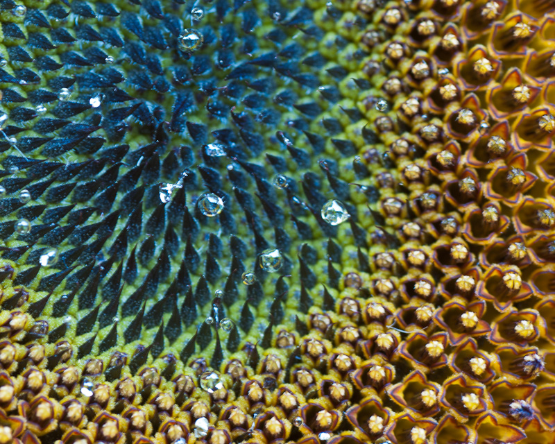 Flower Head of a Sunflower © Claudia Ward