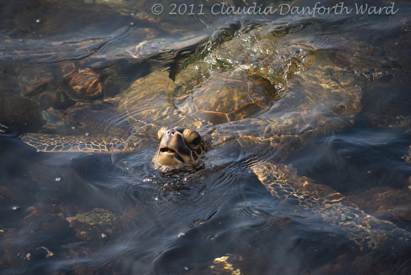 Honu - The Green Sea Turtle - Hawaii