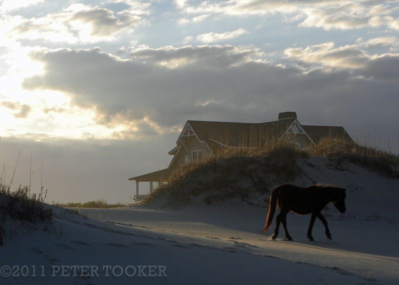 Spanish Mustang on the Outer Banks