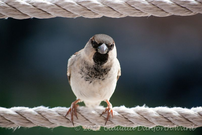 House Sparrow - Hawaii Island