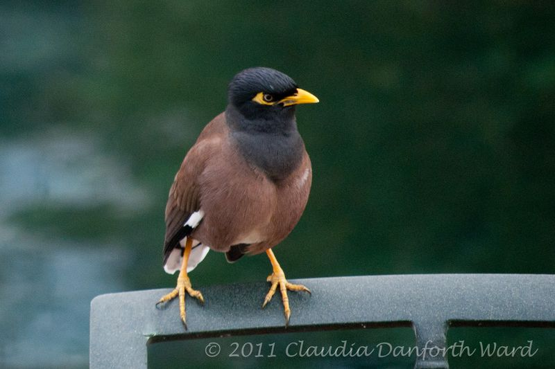 Common Myna BIrd - Hawaii Island