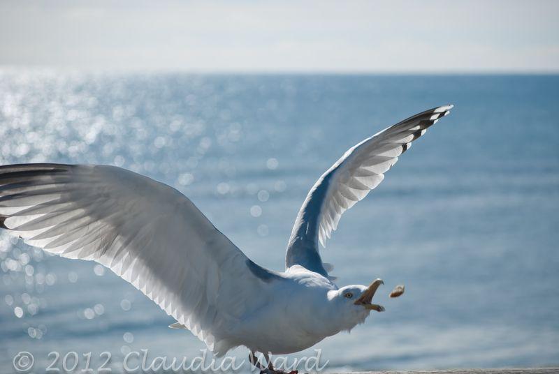 Montauk_Seagull