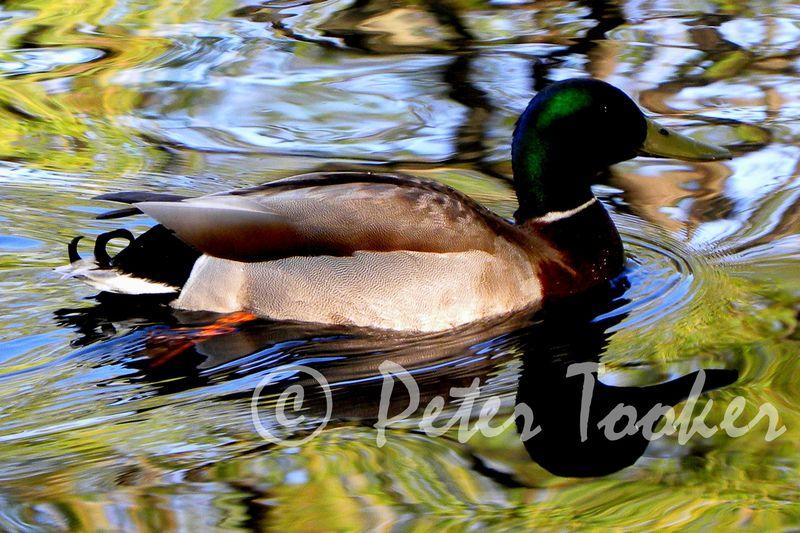 Duck © Peter Tooker