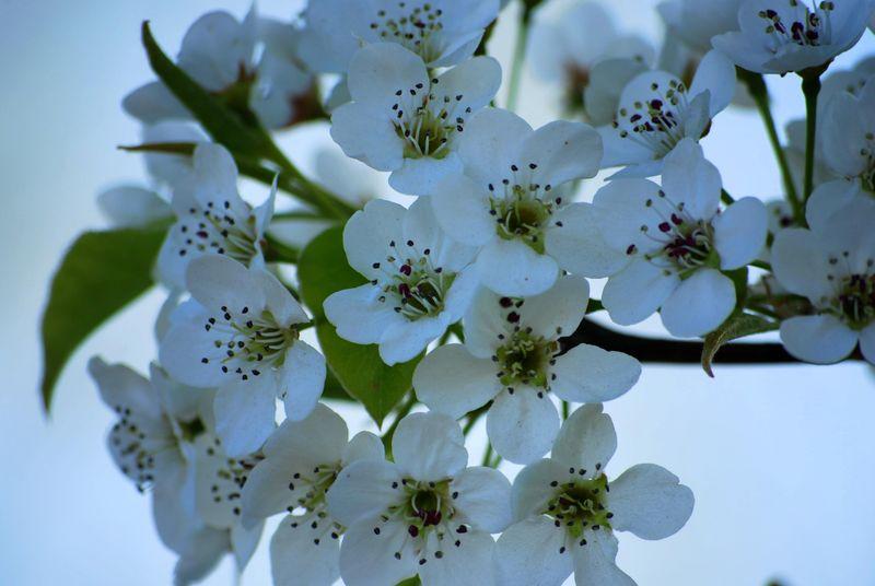 Spring Blossoms ©2009 Claudia Ward