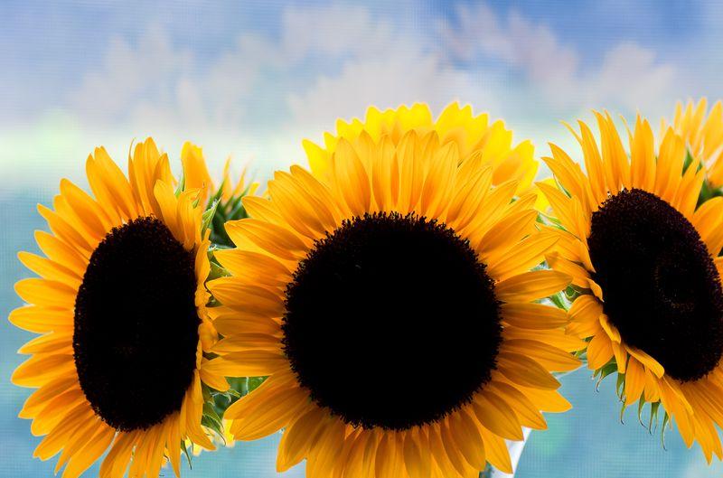 Bonnie's Sunflowers