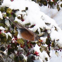 Robin Eating Holly Berry