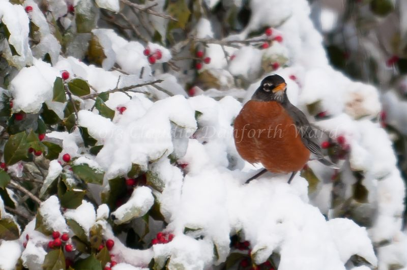 Robin in Snowy Holly Tree © 2013 Claudia Danforth Ward