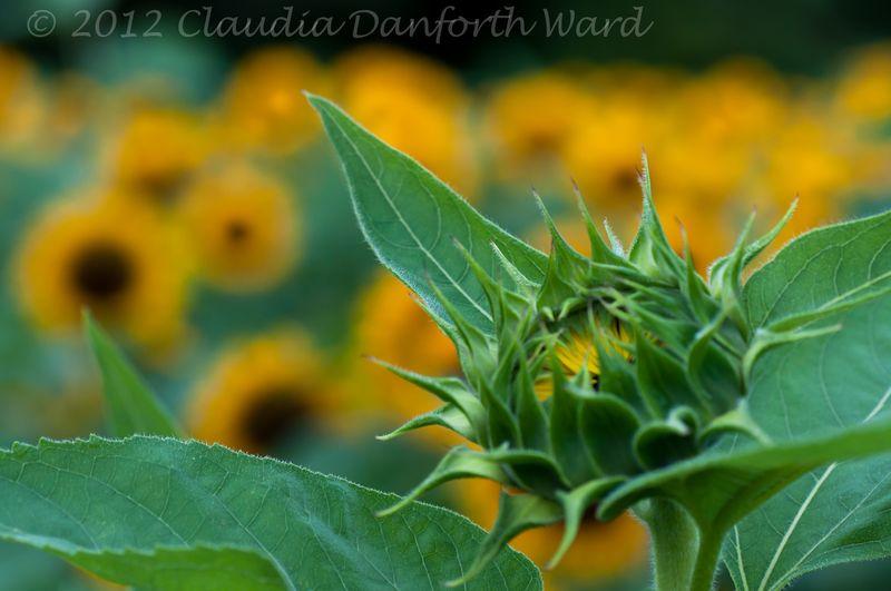 Sunflowers © 2012 Claudia Danforth Ward