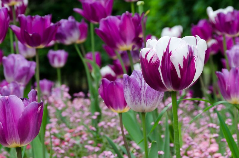 Tulips in the Luxembourg Gardens