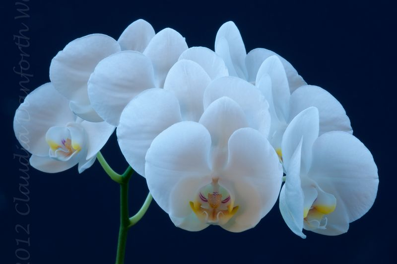 A Chorus of Orchids © 2012 Claudia Danforth Ward