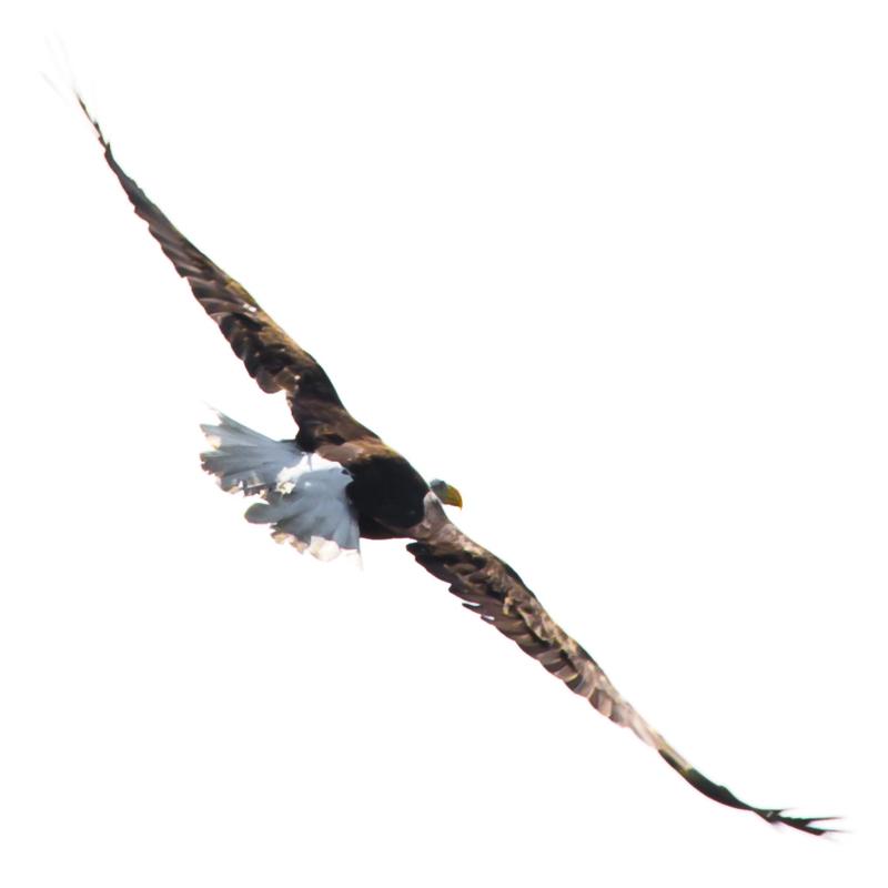 Soaring Bald Eagle II © 2014 Claudia Ward