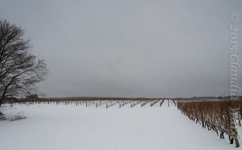 East End Vineyard in Spring © 2015 Claudia Ward