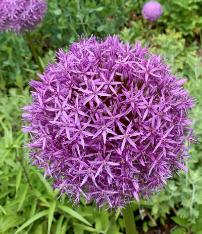 Giant Allium in Full Bloom